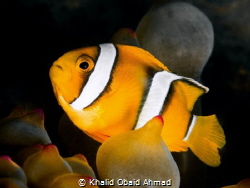 clownfish is harder fish to get best shot of it. by Khalid Obaid Ahmad