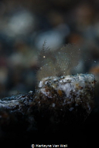 A very small hairy shrimp with eggs in Lembeh. Taken with... by Marteyne Van Well