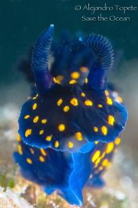 Nudibranch Blue, La Paz Mexico by Alejandro Topete