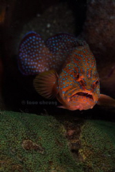 Coral Grouper by Taco Cheung
