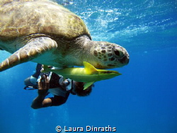 Green turtle (Chelonia mydas) accompanied by remora and s... by Laura Dinraths