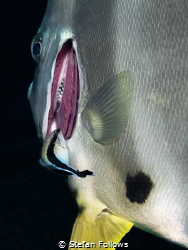 Mr Clean. Ceaner Wrasse - Labroides dimidiatus on Longfin... by Stefan Follows