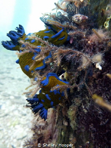 "Nudibranchs ""courting"" on a post under Portsea pier. Take... by Shelley Hooper"