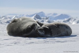Tenderness on the seaice - Edmonson Point, Victoria Land,... by Marco Faimali (ismar-Cnr)