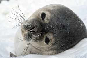 Portrait of seal - Edmonson Point, Victoria Land, Antarctica by Marco Faimali (ismar-Cnr)