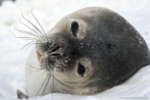 Portrait of seal - Edmonson Point, Victoria Land, Antarctica by Marco Faimali (ismar-Cnr)