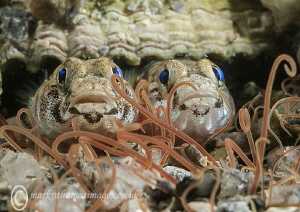 Painted gobies. Aughrus Pier, Connemara. by Mark Thomas