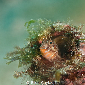 A Blenny Bouquet! by Ellen Cuylaerts