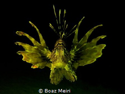 """Golden Lionfish"" by Boaz Meiri"