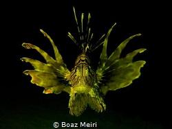 """Golden Lionfish"" by Boaz Meiri"