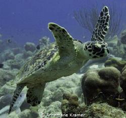 Hawksbill Turtle (Eretmochelys imbricata) by Annemarie Kramer