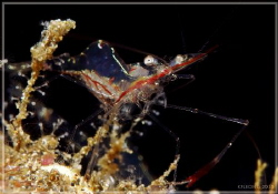 Another lucky shot since the shrimp is quite small in siz... by Kf Leong
