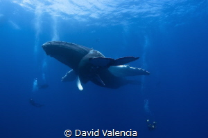 The Best Safety Stop ever! Momma and Baby humpback Whales... by David Valencia