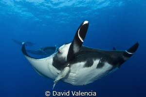 A rare squadron of Giant Pacific Manta Rays. These giants... by David Valencia