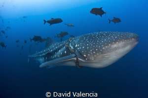 This Whale Shark circles as we observe its entangled in a... by David Valencia