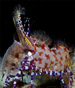 """""""Exotic king II"""" Marble shrimp (captured in 2013) by Iyad Suleyman"""
