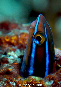 Blue Striped Fang Blenny. by Marylin Batt