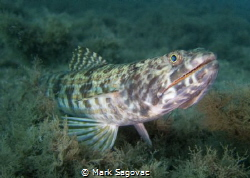 Lizardfish...BHP