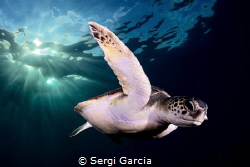 afternoon: a colony of green turtles (chelonya mydas) has... by Sergi Garcia