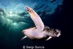 afternoon: a colony of green turtles (chelonya mydas) has... by Sergi Garcia