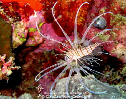 juvenile lionfish - only about 5 cm  Bohol - Philippines by Claudia Weber-Gebert