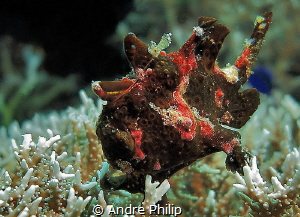frogfish in brown - it was the first time, I saw this col... by Andre Philip