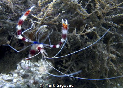 Coral Banded shrimp  BHB- no strobe by Mark Sagovac