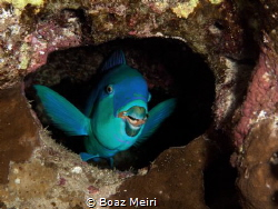 Parrotfish sleeping by Boaz Meiri