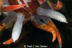 Fiery Nudibranch by Peet J Van Eeden