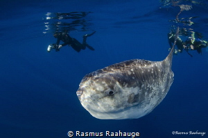 Divers snorkel with Mola Mola - Catalina Island by Rasmus Raahauge