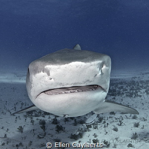 Really lost my heart to Tiger Sharks....all sharks in fac... by Ellen Cuylaerts