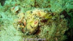 Scorpion fish very camouflaged almost looks like it's got... by Brett Klempel