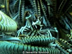 Squat lobster (crinoid crab) directing his orchestra. Mus... by Samantha Buonvino