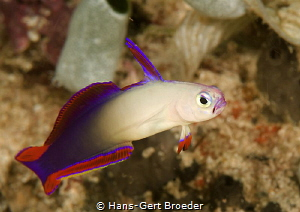 Decorated dartfish