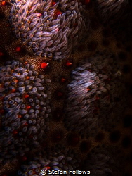 Its all in the details. Cushion Seastar - Culcita Novagui... by Stefan Follows