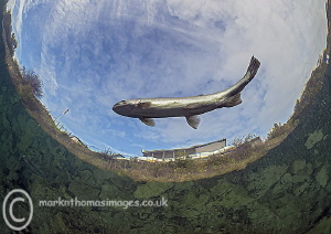 Flying fish - one of the resident trout in Capernwray. by Mark Thomas