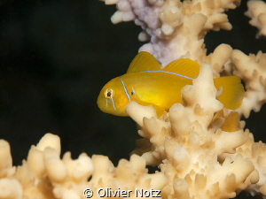 Lemon Coral Gob; real nervous small fishes :-) by Olivier Notz