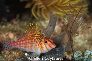 Dwarf hawkfish, resting. Looks like a scene on a tropical... by Ellen Cuylaerts