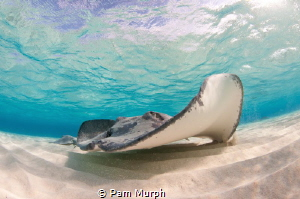 """Scar""  /  This sting ray is a regular at the sandbar in ... by Pam Murph"