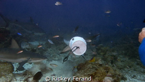 Feeding Frenzy on Shark Dive - Roatan by Rickey Ferand