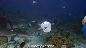 Feeding Frenzy on Shark Dive - Roatan by Rickey Ferand