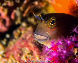 Goby give you a chance to get best shot but sometime he h... by Khalid Obaid Ahmad