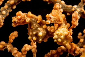 Double yellow Bargibandi pygmy seahorses in Anilao. by Mehmet Salih Bilal