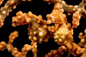 Double yellow Bargibandi pygmy seahorses in Anilao. by Mehmet Salih Bilal