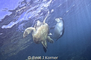 Interaction between a Green Turtle and the rare Hawaiian ... by Beat J Korner