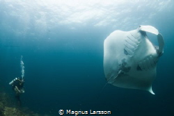 Giant Manta flashing its stomach at Hin Daeng. by Magnus Larsson