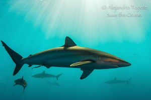 Shark Arround, Gardens of the Queen Cuba by Alejandro Topete