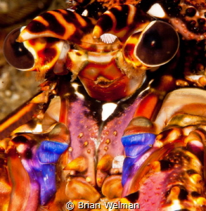 """""""Alien""""  Close up of Africa East Coast Lobster Face by Brian Welman"""