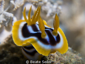 Chromodoris quadeicolor by Beate Seiler