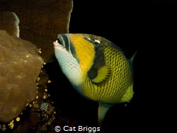 titan trigger fish on the wreck of the Numidia by Cat Briggs